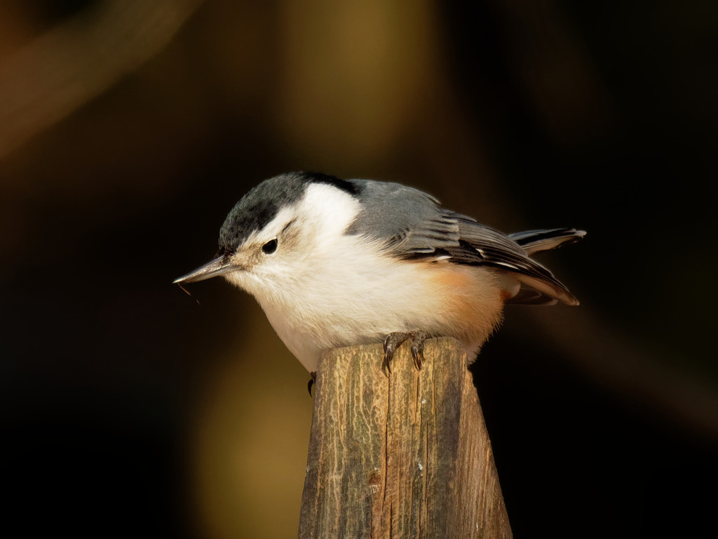 white-breasted nuthatch  by rminer