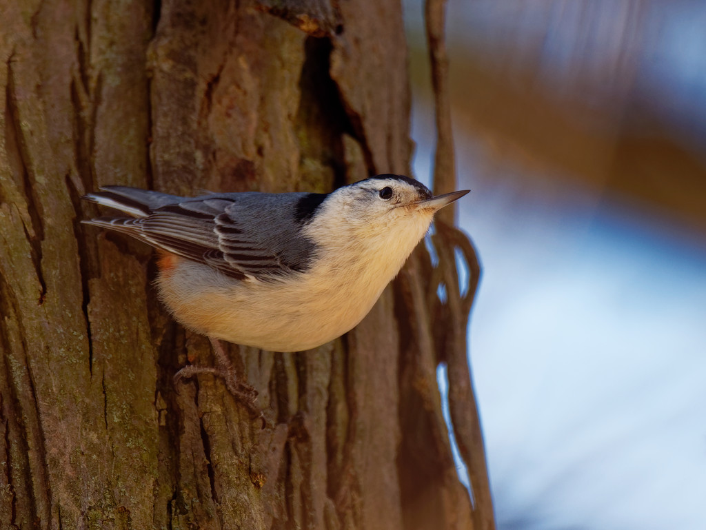 white-breasted nuthatch on a tree by rminer