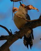 21st Feb 2020 - red-bellied woodpecker