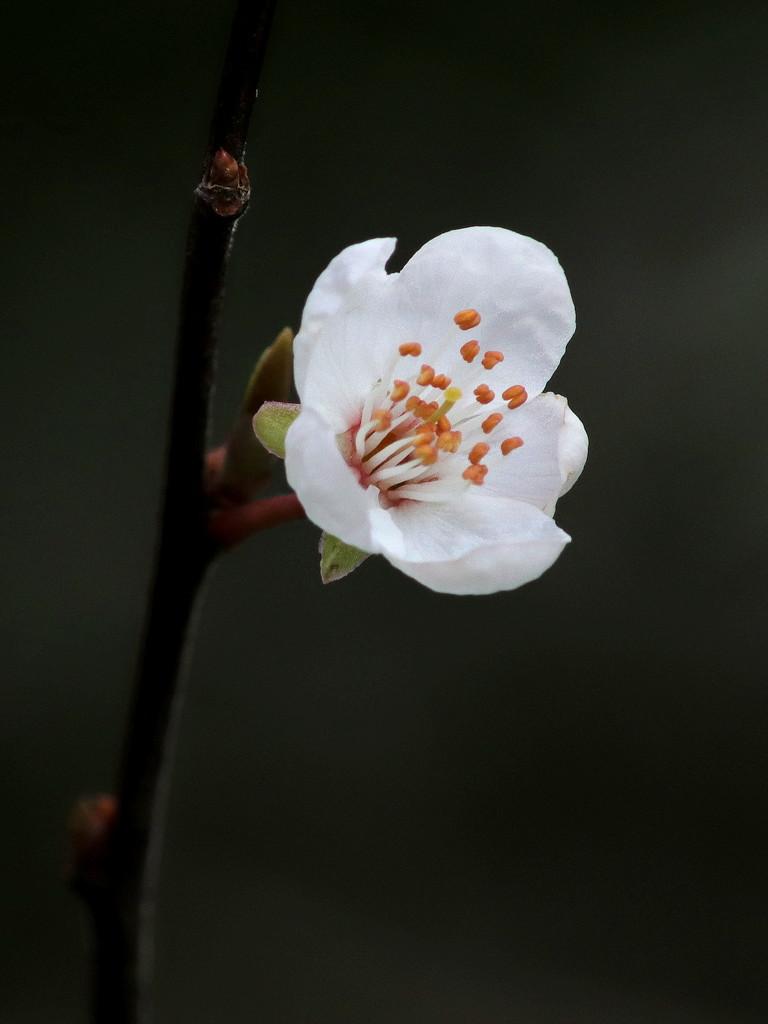 Blossom by gaf005
