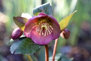 21st Feb 2020 - Another Hellebore