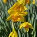 Daffodils by k9photo