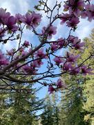 21st Feb 2020 - magnolia blossom