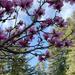 magnolia blossom on 365 Project