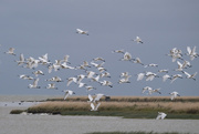 22nd Feb 2020 - Flock of royal spoonbills at Lake Ellesmere