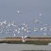 Flock of royal spoonbills at Lake Ellesmere