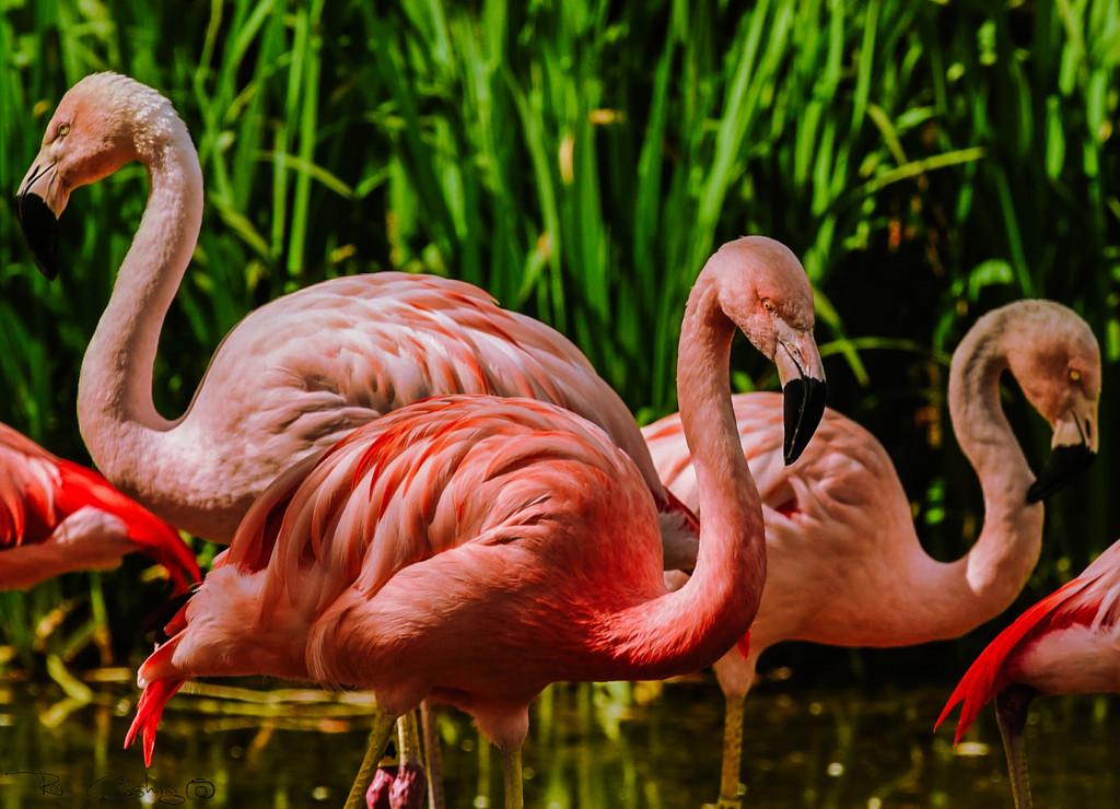 Flamingo Friday '20 07 by stray_shooter