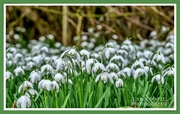 22nd Feb 2020 - A Carpet Of Snowdrops