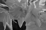 22nd Feb 2020 - daffodils in a vase