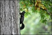 22nd Feb 2020 - Black squirrel