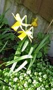 22nd Feb 2020 - A few little daffodils ...