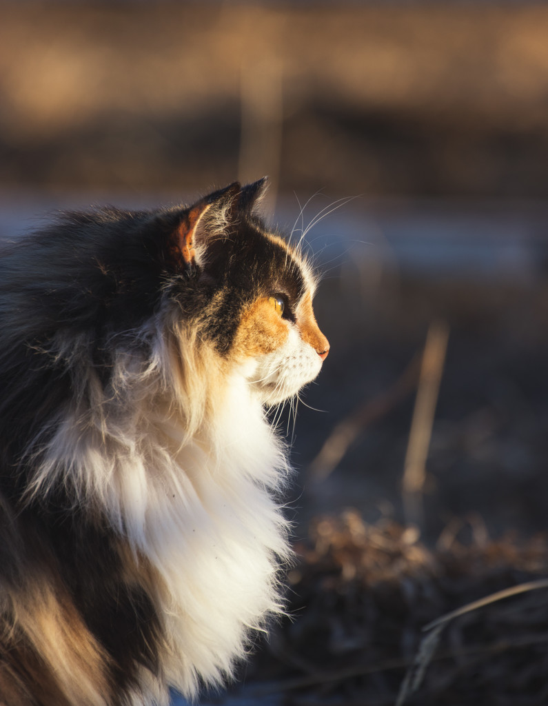 golden hour calico by aecasey
