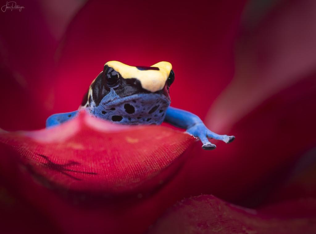 Poison Dart Frog by jgpittenger