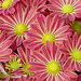 Red-Yellow Mums