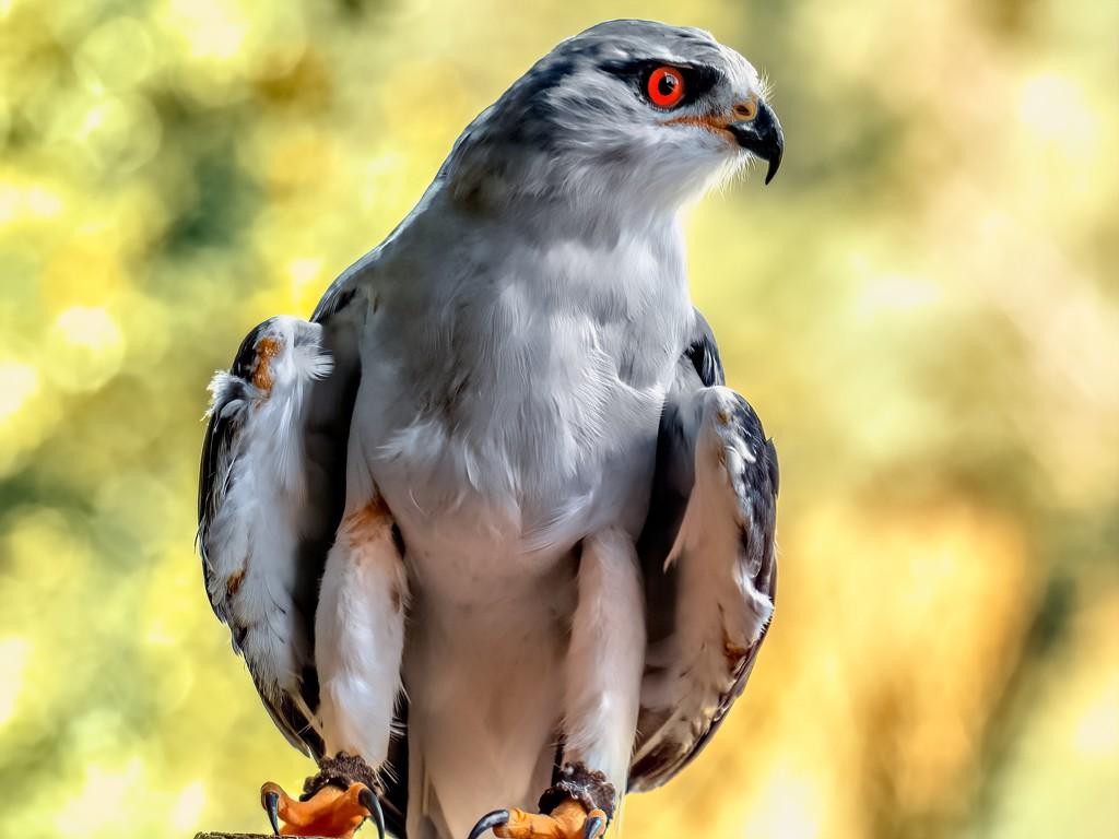 Black shouldered Kite  by ludwigsdiana