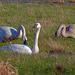 Trumpeter Swans passing through