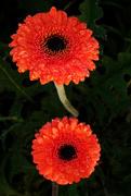 23rd Feb 2020 - Orange gerberas after rain