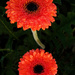 Orange gerberas after rain