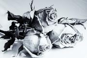 23rd Feb 2020 - Roses