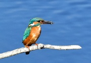 23rd Feb 2020 - One of my first kingfisher photos