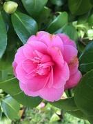 17th Feb 2020 - Camellia
