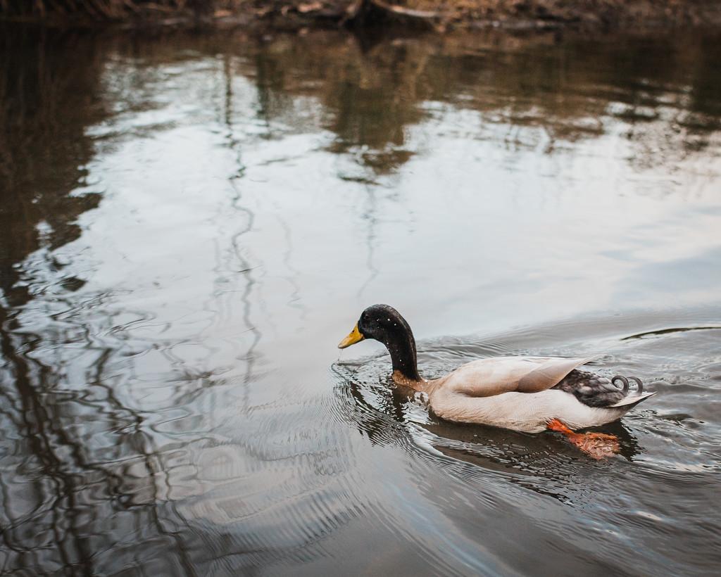 Everything's Ducky by mamazuzi