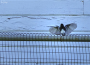 23rd Feb 2020 - Black Phoebe Spreading His Wings