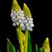 Muscari flowers.