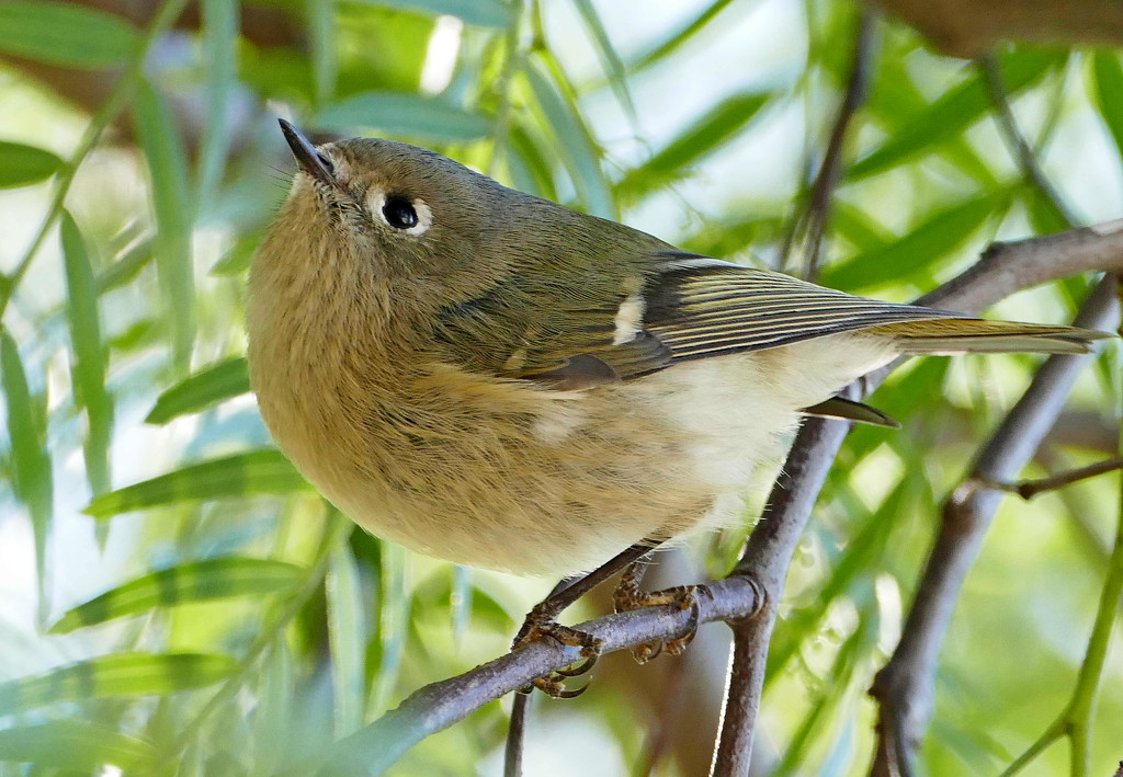 Californian birdie by jesika2