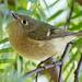 Californian birdie