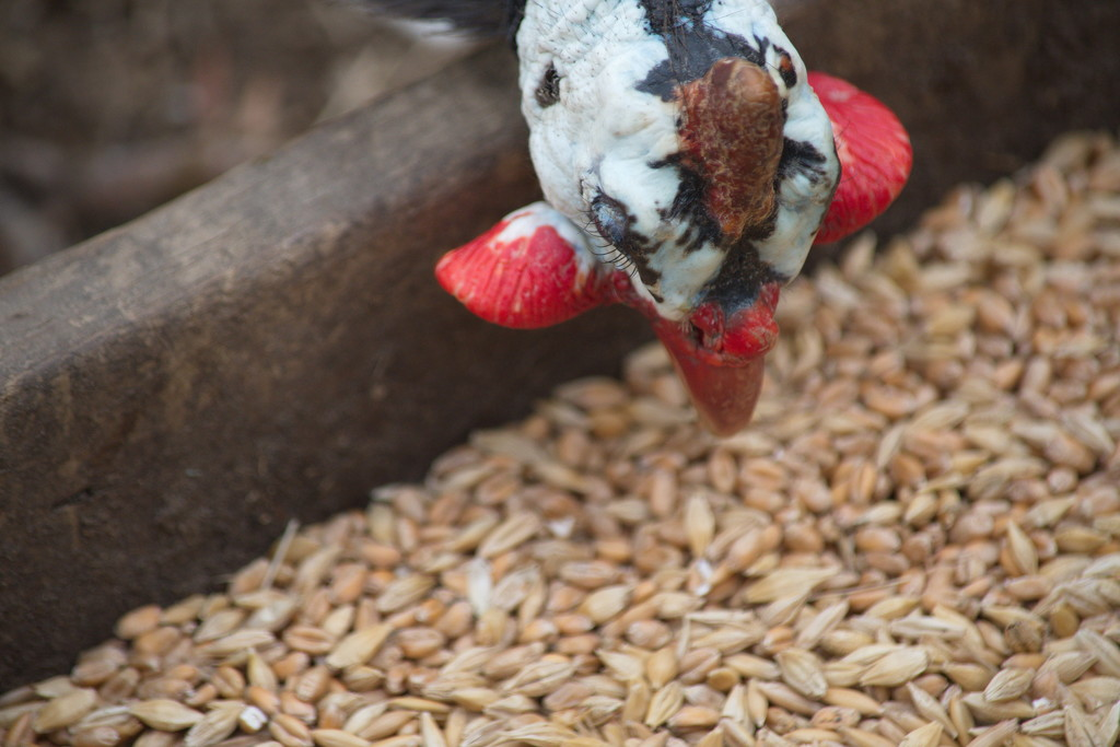 February Series - A month of Guinea Fowl (24) by kgolab