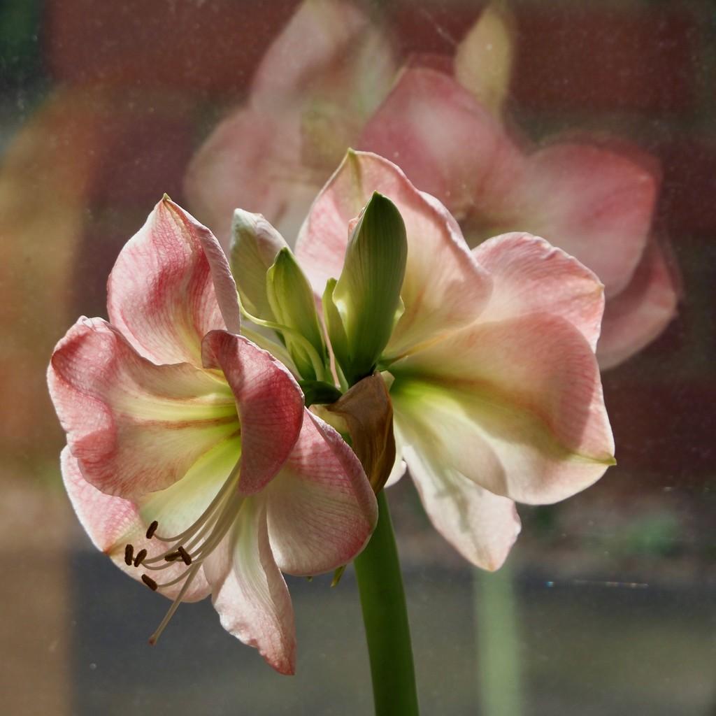 Amaryllis by rosie00