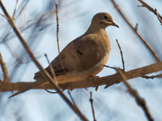 23rd Feb 2020 - mourning dove