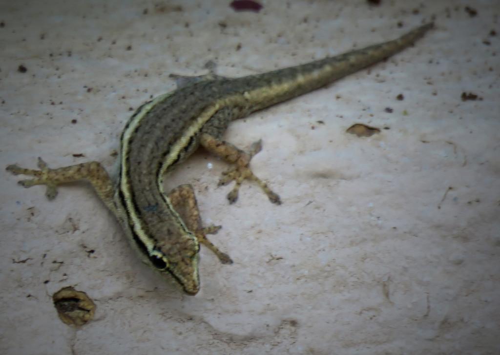 Little gecko by sdutoit
