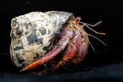 23rd Feb 2020 - Hermit Crab