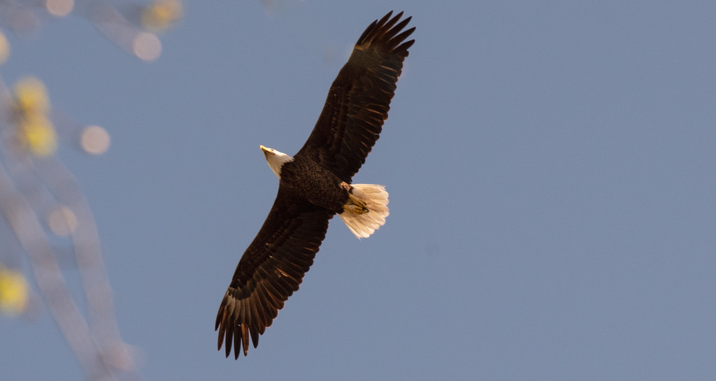 Bald Eagle on the Rise! by rickster549