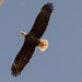 Bald Eagle on the Rise!