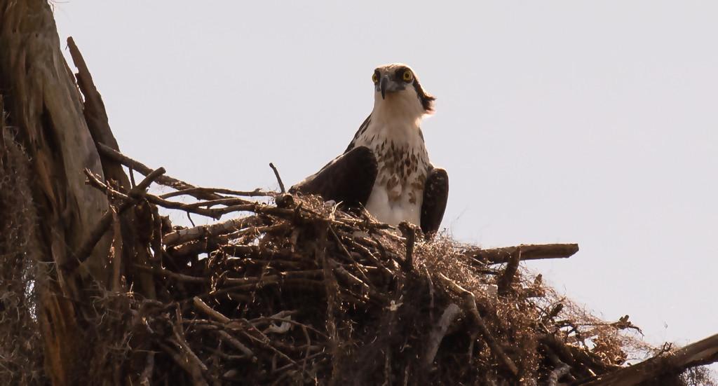 Osprey at the Nest! by rickster549