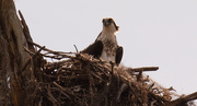23rd Feb 2020 - Osprey at the Nest!
