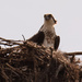 Osprey at the Nest!