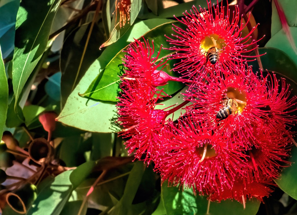 Gum trees flowers by ludwigsdiana