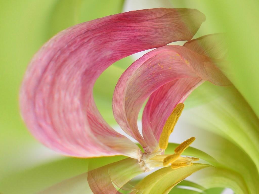 Tulip demise........ by ziggy77
