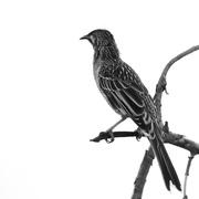 24th Feb 2020 - High Key Wattle Bird P2240387