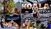 25th Feb 2020 -  Koala Rescue ~