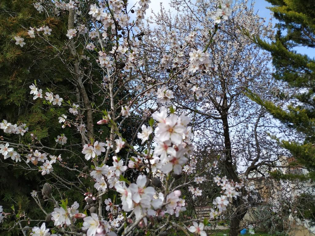 Almond Blossoms by shilohmom