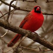 24th Feb 2020 - northern cardinal