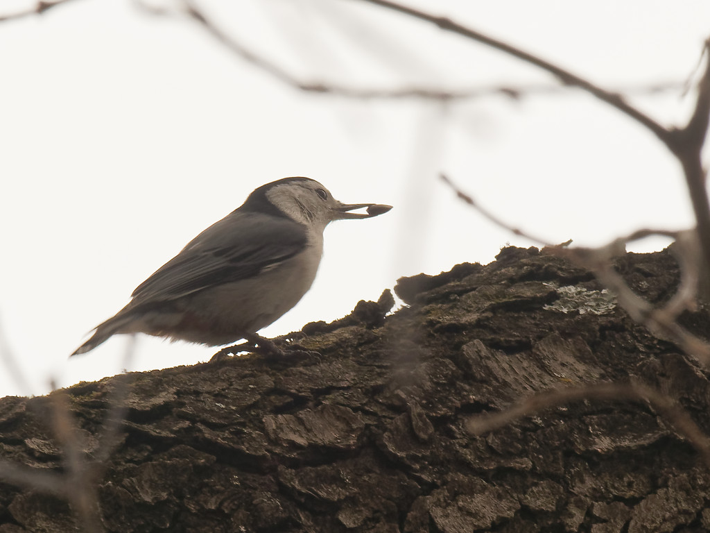 nuthatch with seed by rminer