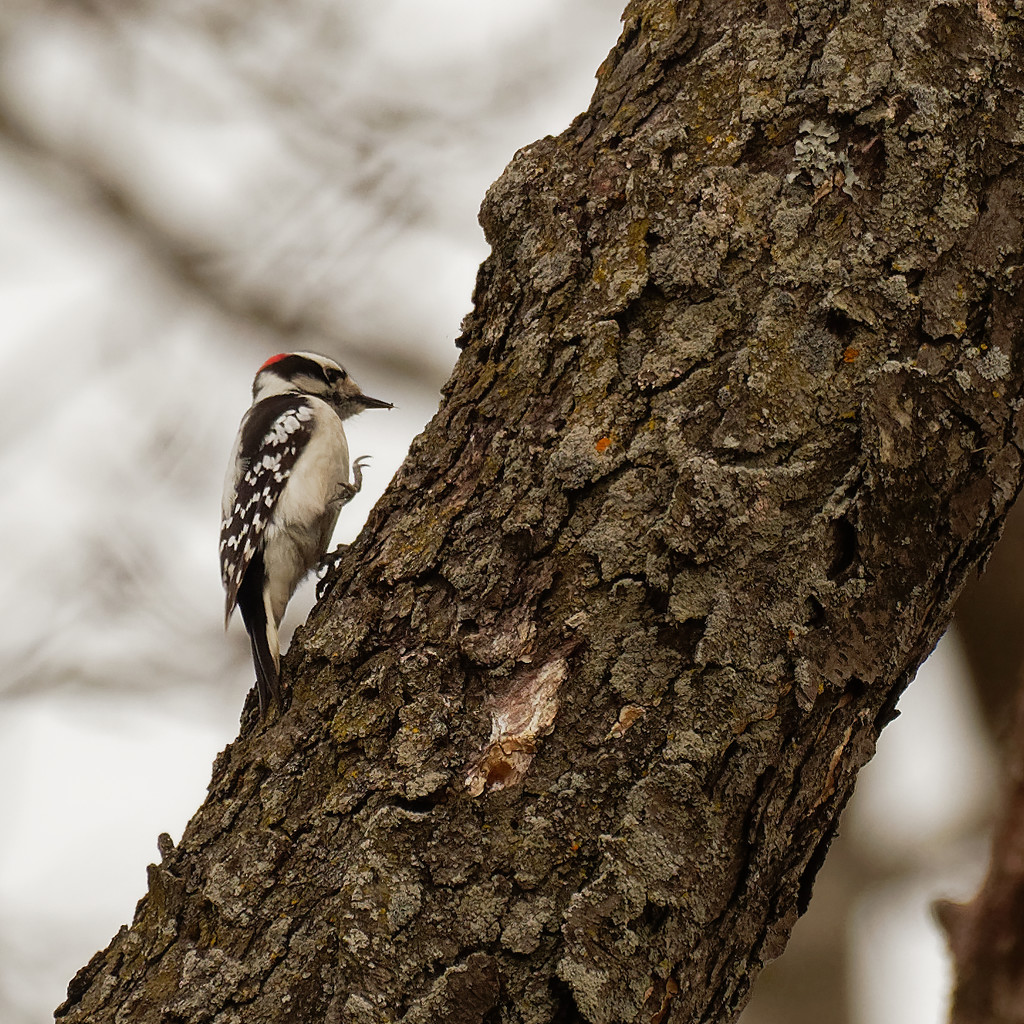 downy woodpecker on a stroll by rminer
