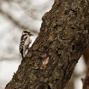 24th Feb 2020 - downy woodpecker on a stroll