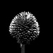 Black eyed susan seed head